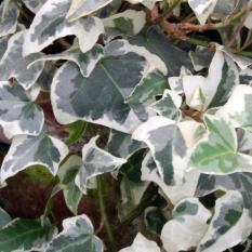 Bibit Tanaman Glacier Ivy