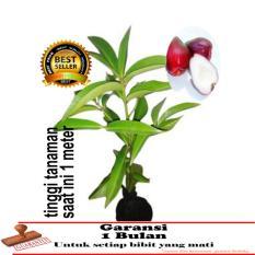 bibit tanaman jambu jamaika 1 meter