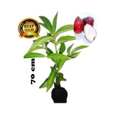 bibit tanaman jambu jamaika 70cm
