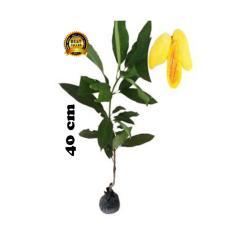 bibit tanaman Mangga Chokanan 40cm