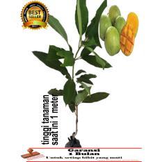 bibit tanaman mangga indramayu 1 meter