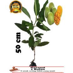 bibit tanaman mangga indramayu 50 cm