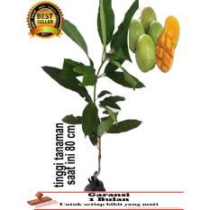 bibit tanaman mangga indramayu 80 cm