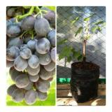 Jual Bibit Tanaman Murah Anggur Moscato Bibit Tanaman Murah Online