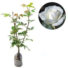 Bibit Tanaman Murah Bunga Mawar Putih