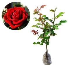 Bibit Tanaman Murah Mawar - Merah