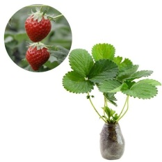 BIBIT TANAMAN MURAH - Strawberry