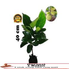 bibit tanaman nangka mini 40cm