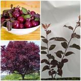 Cuci Gudang Bibit Tanaman Purple Leaf Plum Cherry Plum