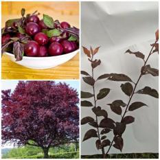 Bibit Tanaman Purple Leaf Plum (Cherry Plum)