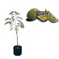 Jual Bibitbuahonline Durian Lembah Kelud Nv Grosir