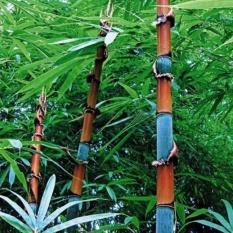 Keluarga Besar: 100 Pcs Phyllostachys Pubescens Moso Bambu Penanaman Bibit Abadi Rumah Tanaman-Intl