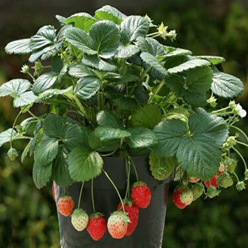 Shock Price biji benih bonsai strawberry berisi 20 butir best price - Hanya Rp20.275
