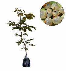 berisi 14 biji benih / bibit buah ciplukan orange jumbo importIDR14000. Rp 14.950