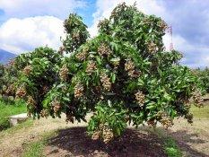 biji benih buah kelengkeng tabulampot  berisi 7 butir