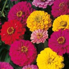 Rp 30.000 biji benih bunga dahlia dwarf berisi 5 butirIDR30000. Rp 35.000 biji benih bunga
