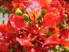 biji benih bunga flamboyan orange berisi 25 butir