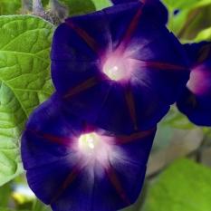 biji benih bunga morning glory grandpa ott berisi 5 butir