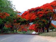 biji benih bunga pohon flamboyan orange berisi 25 butir