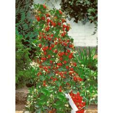 Isi 30 Butir Benih Buah Stroberi Rambat / Climbing Strawberry Import