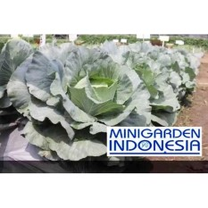 50 Benih kol Kubis Hibrida Sehati F1 bibit tanaman sayur Sayuran hidroponik