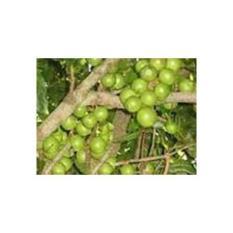 Bibit Pohon Kacang Makadamia Nut isi 3 bibit