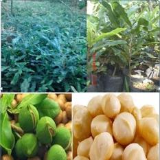 Bibit Murah Pohon Kacang Makadamia Nut per paket 7 bibit
