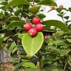 Jual Bibit Pohon Beach Cherry