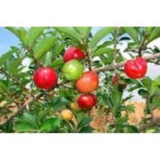 Jual Bibit Pohon Cherry Acerolla Manis -Sweet Acerolla Siap Berbuah