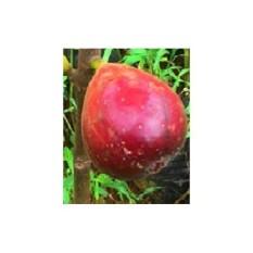 Bibit Pohon Tin Red Israel