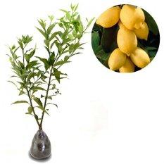 Jeruk Lemon IMPOR