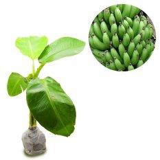 Beli Kebunbibit Tanaman Buah Pisang Cavendis 40Cm Kebun Bibit Dengan Harga Terjangkau