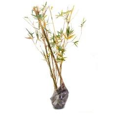 Harga Bambu Kuning Mini Yang Murah