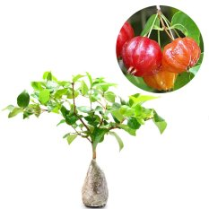 Jual Kebunbibit Tanaman Suriname Cherry 30Cm Kebun Bibit Di Jawa Timur