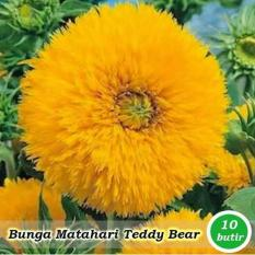 Obral Murah Benih-Bibit Bunga Matahari Teddy Bear (Haira Seed)