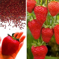 Oscar Store 100Pcs/Pack Red Strawberry Seeds Planting Home Fruit Plant Juicy Delicious