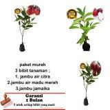 Harga Paket 3 Bibit Tanaman Jambu Air Citra Jamaika Madu Merah Original