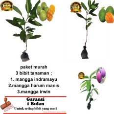 PAKET 3 BIBIT TANAMAN MANGGA INDRAMAYU,ARUM MANIS ,IRWIN