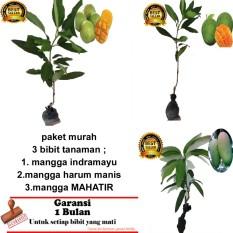PAKET 3 BIBIT TANAMAN MANGGA INDRAMAYU,ARUM MANIS ,MAHATIR