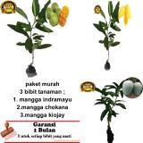 Paket 3 Bibit Tanaman Mangga Indramayu Chokana Kiojay Original