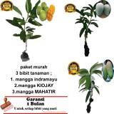 Toko Paket 3 Bibit Tanaman Mangga Indramayu Kiojay Mahatir Lampung