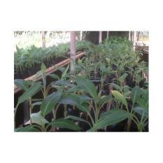 Paket Bibit Pisang Cavendis Sun Pride 10 Pohon