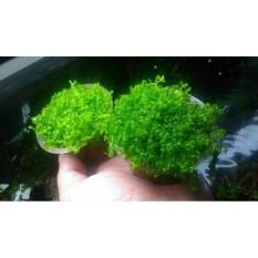 Tanaman Aquascape Micranthemum Sp Montecarlo Di Cup
