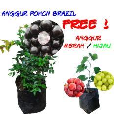 Jual Tanaman Buah Anggur Pohon Anggur Brasil Jaboticaba Branded Murah