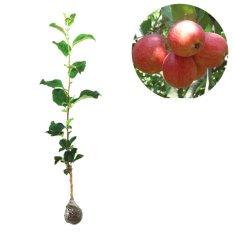 Ulasan Mengenai Tanaman Buah Apel Anna