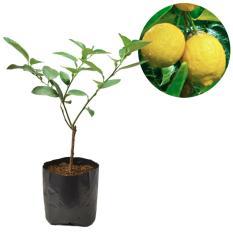 Tanaman Buah Jeruk Lemon Impor