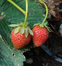 Tanaman Buah Strawberry Lokal