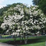 Tanaman Bunga Crape Myrtle Putih Rosflorist Diskon