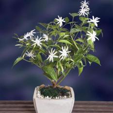 Tanaman Bunga Melati Gambir Impor