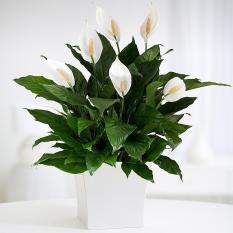 Spek Tanaman Bunga Peace Lily Rosflorist